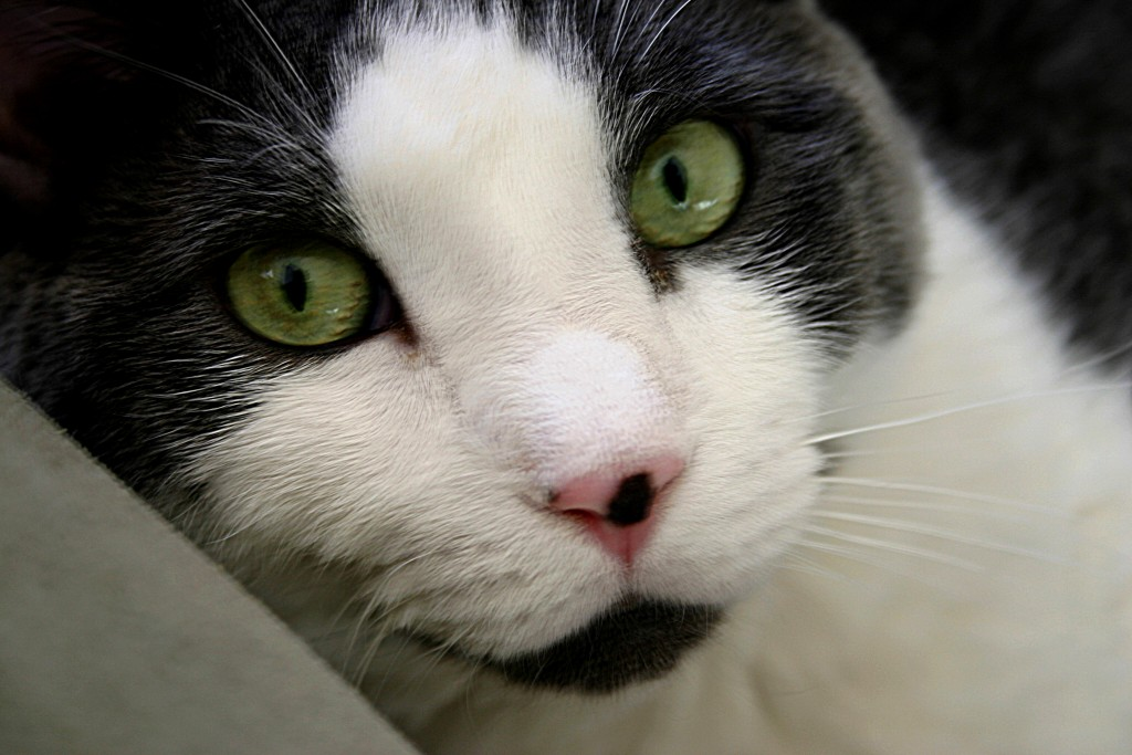 Close up of gray & white cat's face